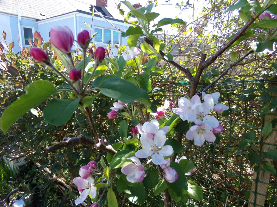 Apple blossom May 2015