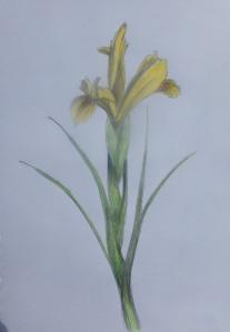 Yellow Iris Sketch 91