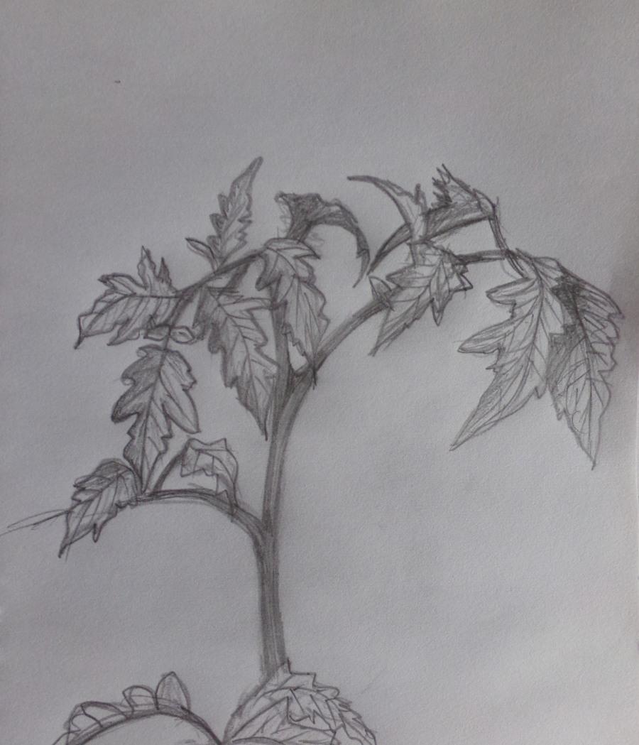 """tomato plant, """" Shirley"""" variety"""
