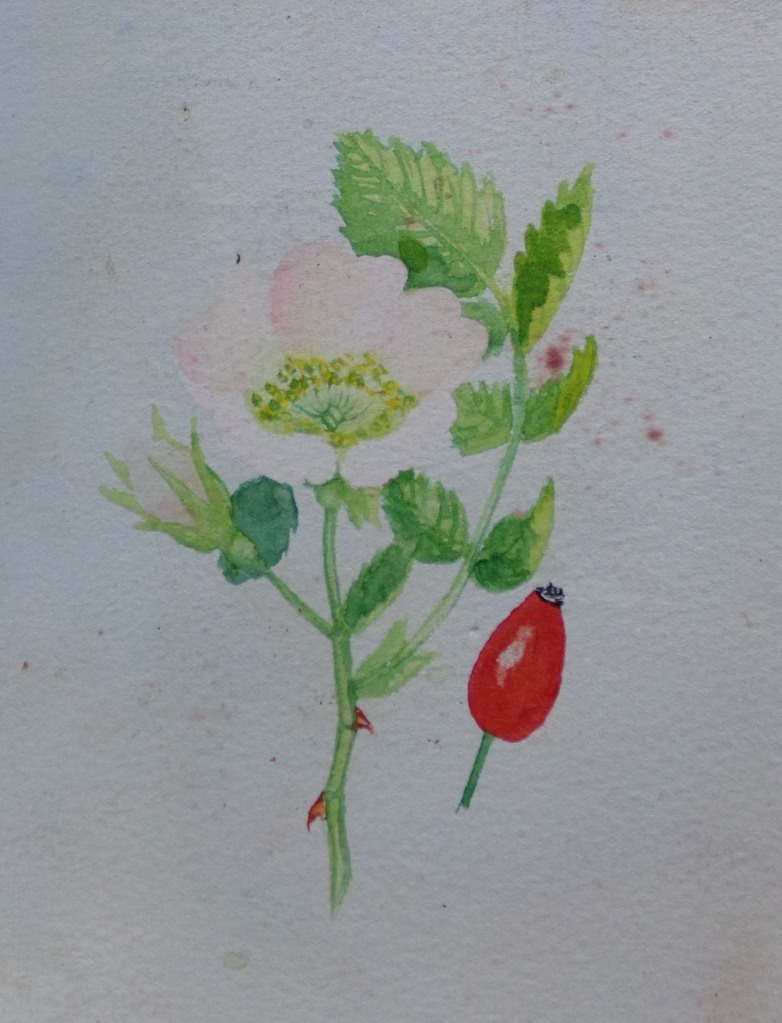 Dog rose, watercolour by AnneMarie Foley