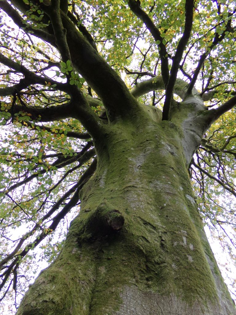 Beech tree, photograph by AnneMarie Foley