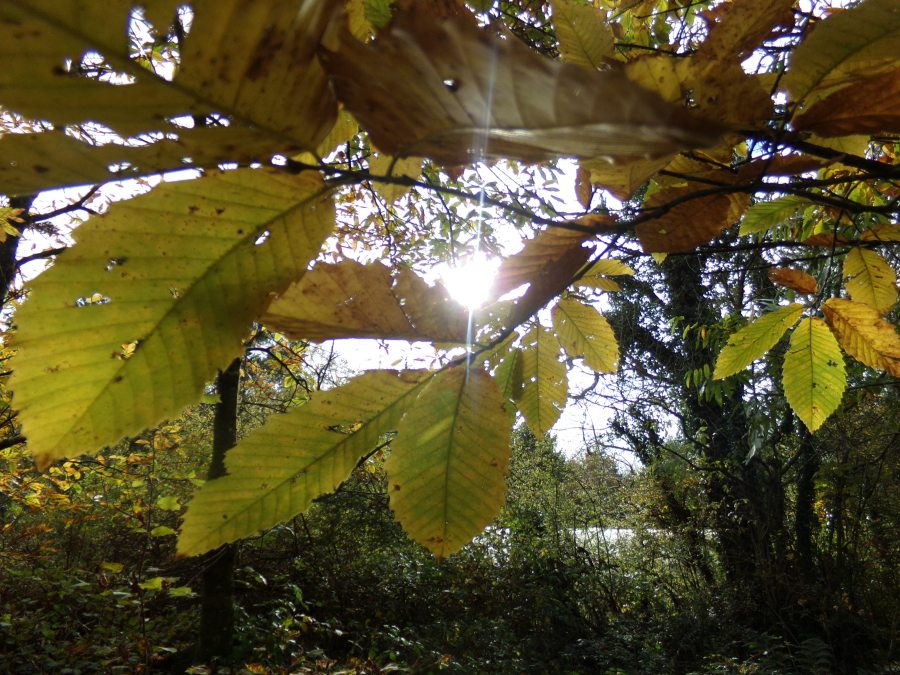 Chestnut trees in Autumn,