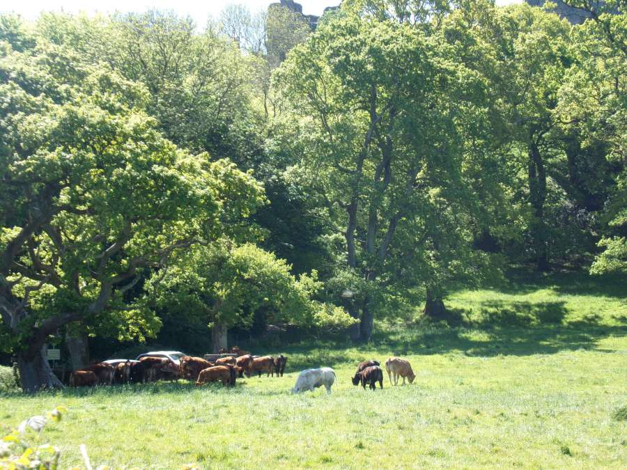 Cows in in Llansteffan, photograph by AnneMarie Foley