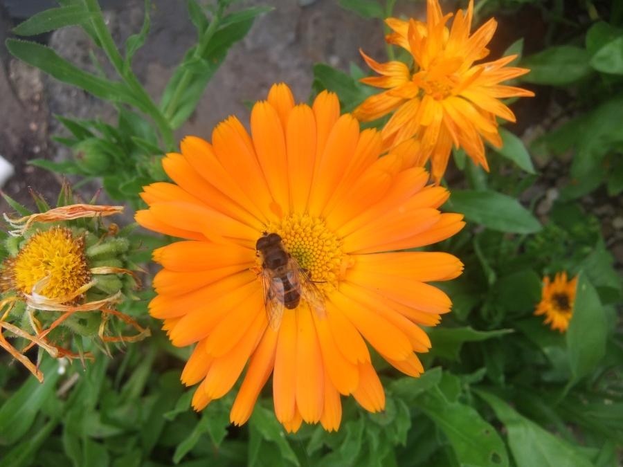 Bee`s Marigold