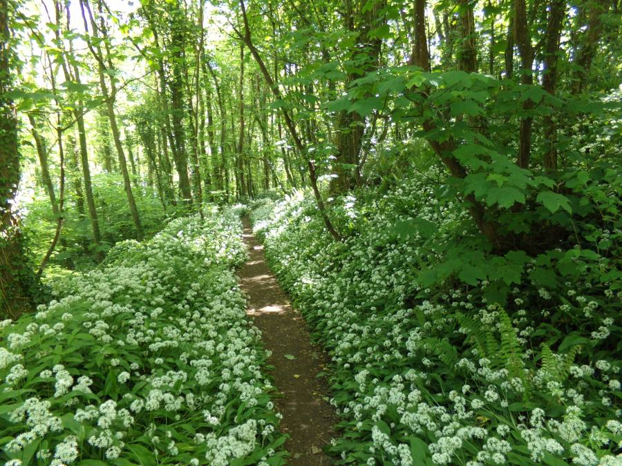 Wild garlic in Llansteffan photograph by AnneMarie Foley