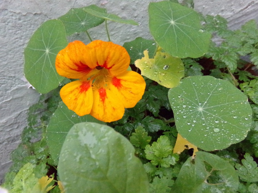 Nasturtium, photograph by AnneMarie Foley