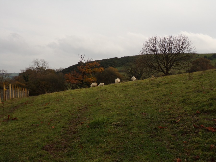 Sheep at Laugharne photograph by AnneMarie Foley